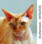 canadian sphynx.   Shutterstock . vector #34562026