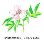 flower   eglantine   crayon... | Shutterstock . vector #345791651