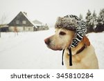 Stock photo labrador retriever with cap on his head in winter 345810284