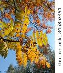 Small photo of Autumn leaves of acacia/Autumn leaves of acacia/Autumn leaves of acacia