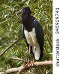 Small photo of Abdim's stork (Ciconia abdimii)