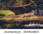 Green Iguana Lying On The...
