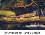 Green Iguana Lying On The...
