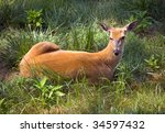 Outdoor Wildlife White Tail Deer Laying in grass Field with ears up - stock photo