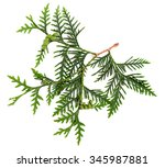Twig Of Thuja With Green Cones...