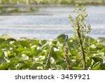 kingfisher  alcedo atthis ... | Shutterstock . vector #3459921