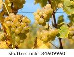 Ripe grapes in the vineyard in October - stock photo