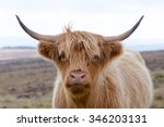 Highland Cow At The Side Of Th...