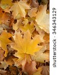 Small photo of Photo closeup of autumn colorful yellow golden thick blanket of fallen dry maple leaves on ground deciduous abscission period over forest leaf litter background, vertical picture