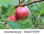 Apple On The Tree. Apple Tree...