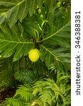 Breadfruit Fruit Growing On...