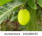 Breadfruit Fruit Growing On...