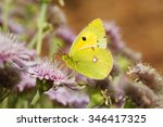 Small photo of Butterfly Colias myrmidone