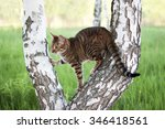 Toyger Cat On A White Tree....