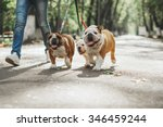 Stock photo three english bulldog on a leash 346459244