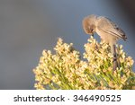 Small photo of Tiny American bushtit looking down at the flowers at his feet.