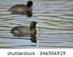 Two American Coots Swimming...