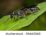 macro shot of a black wasp | Shutterstock . vector #34663360