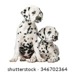Stock photo two dalmatian puppies in front of a white background 346702364