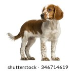 Welsh Springer Spaniel Standin...