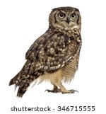 spotted eagle owl   bubo... | Shutterstock . vector #346715555