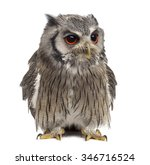 Stock photo northern white faced owl ptilopsis leucotis year old in front of a white background 346716524