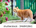 Red Cat Walks On The Farm