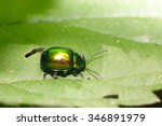 Small photo of Beetle Agelastica alni