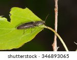 Small photo of Beetle Agriotes pilosellus