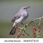 Northern Mockingbird On Berry...