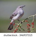 Northern Mockingbird On Berry...