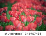 tulip. beautiful bouquet of... | Shutterstock . vector #346967495