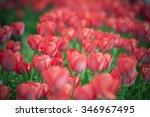 tulip. beautiful bouquet of... | Shutterstock . vector #346967495