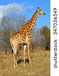 Side View Of Giraffe In Savannah