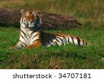 young siberian tiger lying in... | Shutterstock . vector #34707181