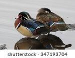 Wood Duck Pair   Aix Sponsa