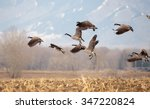 Geese Starting In Flight From ...