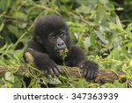 A Baby Gorilla In The Jungle I...