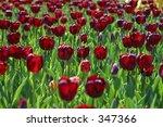 tulips and more tulips. tulip... | Shutterstock . vector #347366