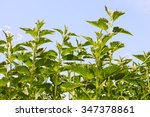 Stinging Nettle Young Plants I...