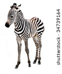 Stock photo adorable baby zebra standing on white background 34739164