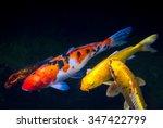 Koi Fish Inside The Pond