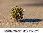 Sweet Gum Tree Seed Pod On...