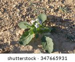 Small photo of Diplotaxis acris, wall-rocket in bloom among the rocks in Arava desert, selective focus on a flower