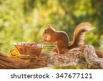 Red Squirrel Standing  On...