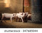 Little Pigs At Farm Waiting Fo...