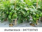 Green Bell Pepper Plantation...