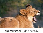 lion cubs in the morning light... | Shutterstock . vector #34773406