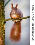 Cute Little Red Squirrel...
