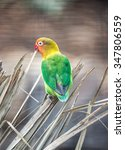 Small photo of Fischer's Lovebird (Agapornis fischeri)